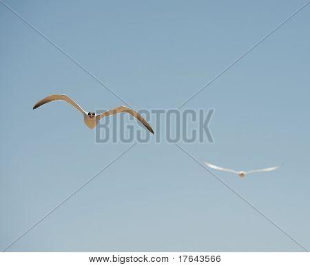 Two Caspian Terns In Flight