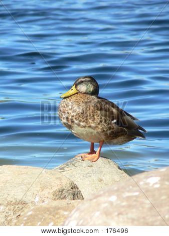 Duck On The Stones