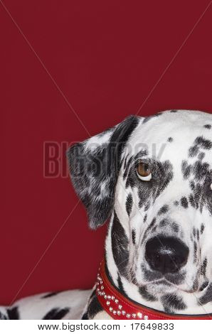 Dalmatian, looking up, close-up