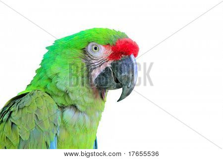 Ara Militaris Military Macaw Green parrot South and Central america