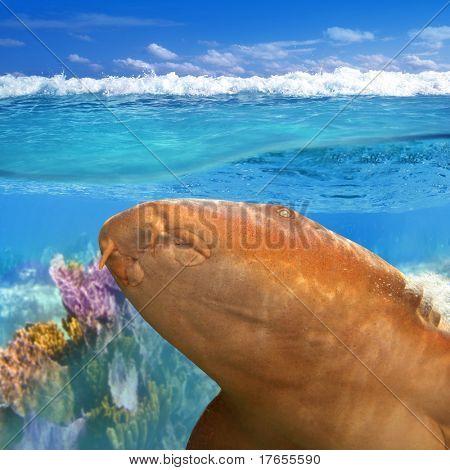 Nurse shark gata nodriza Ginglymostoma cirratum in Caribbean reef