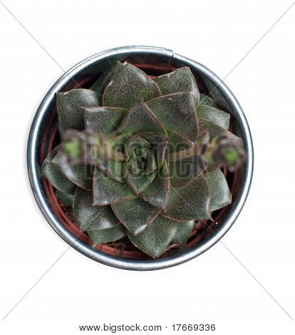 Echeveria Plant