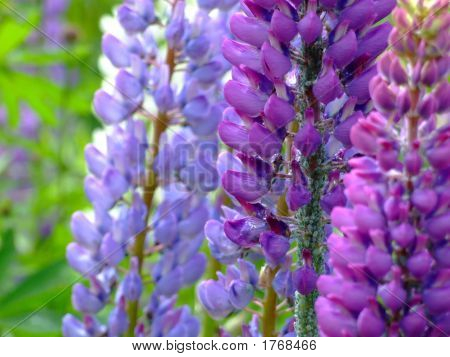 Aphid Infested Lupines