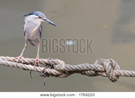 Little Heron On A Rope
