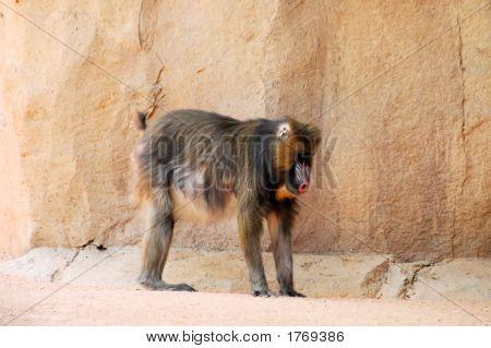Macaco mandril