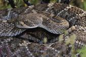 picture of western diamondback rattlesnake  - Western Diamondback Rattlesnake  - JPG