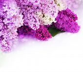 stock photo of may-flower  - Lilac Spring Flower border design - JPG