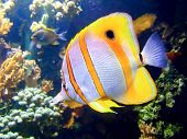 stock photo of coral reefs  - Beautiful clownfish in the tropical coral reef - JPG