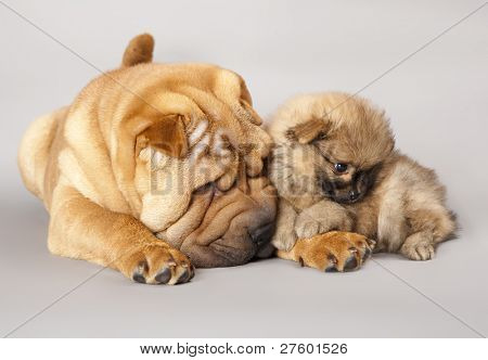 shar pei puppy and Spitz