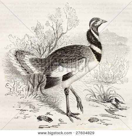 Little Bustard old illustration (Tetrax tetrax). Created by Kretschmer and Illner, published on Merveilles de la Nature, Bailliere et fils, Paris, ca. 1878