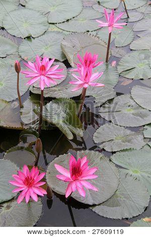 Rosa lotuses