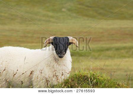 Single Blackhead Sheep