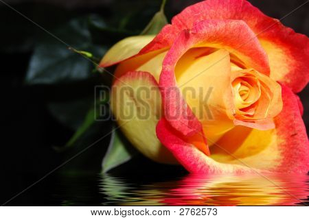 The Bright Rose In Water