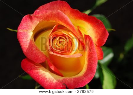 The Bright Orange Rose