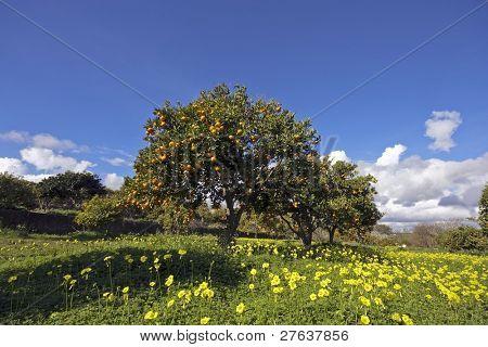 Mandarin orchard in Portugal in springtime
