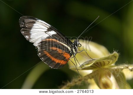 Blk White And Orange Butterfly