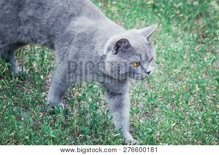 poster of Grey British Cat Lying In The Green Grass. British Blue Cat Posing. Cute Funny Cat Close Up. Cat Wal