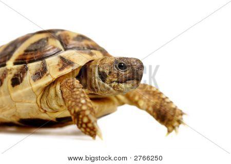 Herman Tortoise