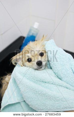 Pomeranian Puppy Shower