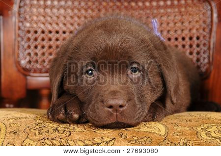 Cute Little Puppy Of Labrador Retriever Portrait