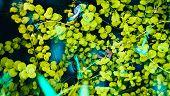 Algae In An Overgrown Pond. Seaweed In Water. Grass, Water Threads, Kelp. Decorative Garden Water Gr poster