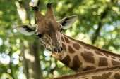 The Giraffe (giraffa Camelopardalis), African Even-toed Ungulate Mammal, The Tallest Of All Extant L poster
