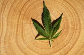 Medical Marijuana Leaf on wood. Cannabis Leaf on a tree stump. poster