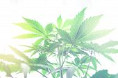 Cannabis Flower Indoor Growing. Northern Light Strain. Grow In Grow Box Tent. Planting Cannabis. Mar poster