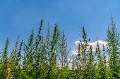 Cannabis Leaf, Medical Marijuana. Cannabis Flowers And Seeds In Green Field With Back Light. Marijua poster