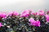 Magic pink rhododendron flowers on summer mountain. Macro photography poster