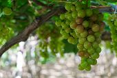 Grapes Tree. Stock Photo Image Of Bunch Fresh Green Grape Fruit On The Vine With Green Leaf In Viney poster