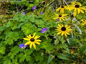 Natural Flowerbed Background. Yellow Rudbeckia (coneflower) And Contrasting Blue Geranium (cranesbil poster