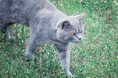 Grey British Cat Lying In The Green Grass. British Blue Cat Posing. Cute Funny Cat Close Up. Cat Wal poster