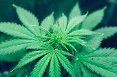Grow Legal Recreational Cannabis. Planting Cannabis. Northern Light Strain. Cannabis Flower Indoor G poster