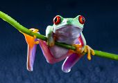 image of orange frog  - Red frog - JPG