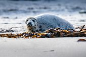 Atlantic Grey Seal Pup On Sandy Beach/atlantic Grey Seal Pup/atlantic Grey Seal Pup (halichoerus Gry poster