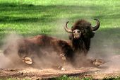 image of wallow  - Wallowing young bison on the green grass - JPG