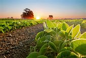 Soybean Field And Soy Plants In Early Morning. Soy Agriculture poster