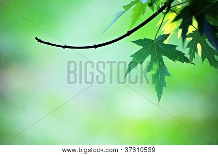 Green Maple Leaf On Branch