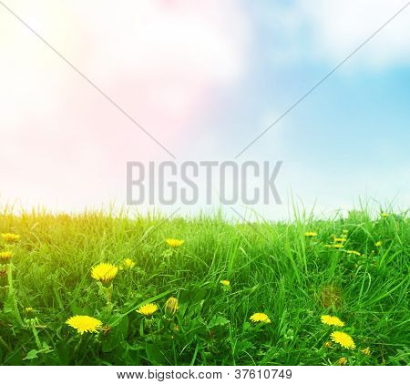 Dandelions In Green Spring Grass