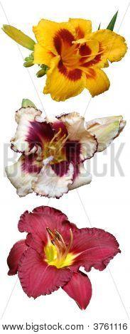 Flowers Daylily
