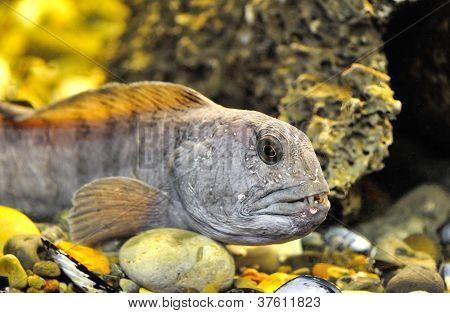 Striped Catfish