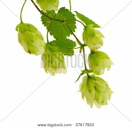 Hop Plant For Beer Production Isolated On White