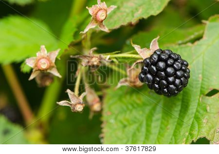 Macro Of Blackberry Healthy Ecologic Dewberry