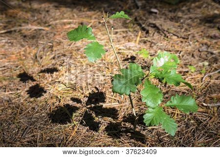 Oak Shoot In Forest