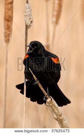 Spring Red-winged Blackbrid