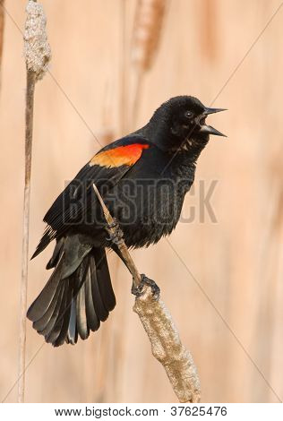Calling Spring Red-winged Blackbird