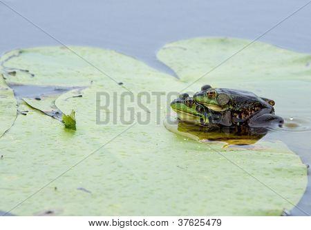 Mink Frogs in Love