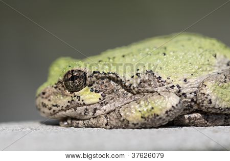 Narrow Focus On Eye Of Bullfrog Or Frog