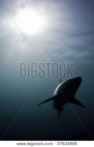 shark light